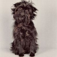 Affenpinscher Monkey dog