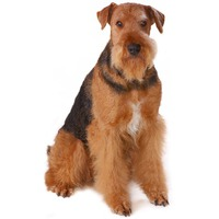 Airedale Terrier Airedale, King of Terriers, Waterside Terrier, Bingley Terrier