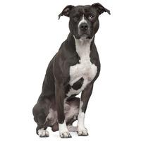 American Pit Bull Terrier APBT, Pit Bull