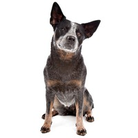 Australian Cattle Dog ACD, Blue Heeler, Red Heeler