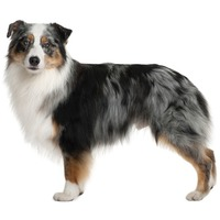 Australian Shepherd Aussie, little blue dog