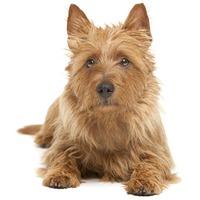 Australian Terrier Aussie