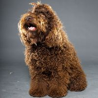 Barbet French Water Dog