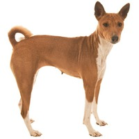 Basenji African Bush Dog, African Not-Barking Dog, Ango Angari, Congo Dog, Zande Dog