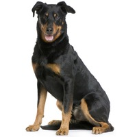 Beauceron Berger de Beauce, Bas Rouge, Red Stocking, Beauce Shepherd