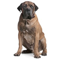 Boerboel South African Boerboel, South African Mastiff