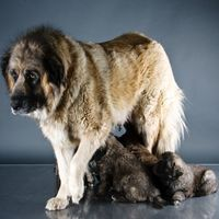 St. Bernard Scotch Shepherd-Mix