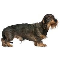 Dachshund - the wiry hair variety