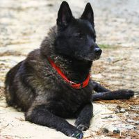 Norwegian Elkhound