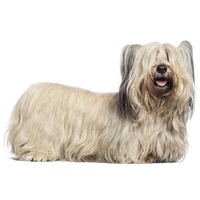 Scottish-Skye Terrier